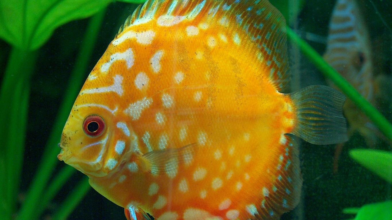 discus fish 1366 x 768