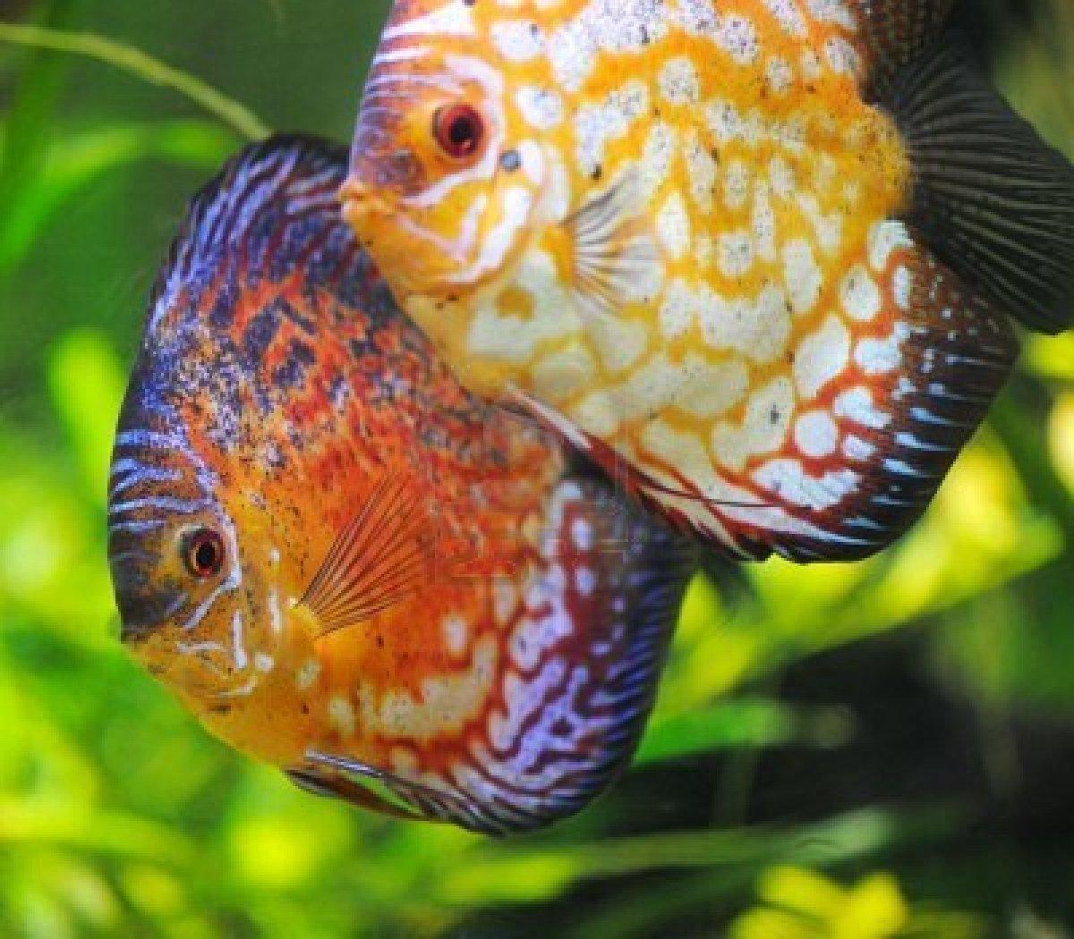 6864766 discus fish