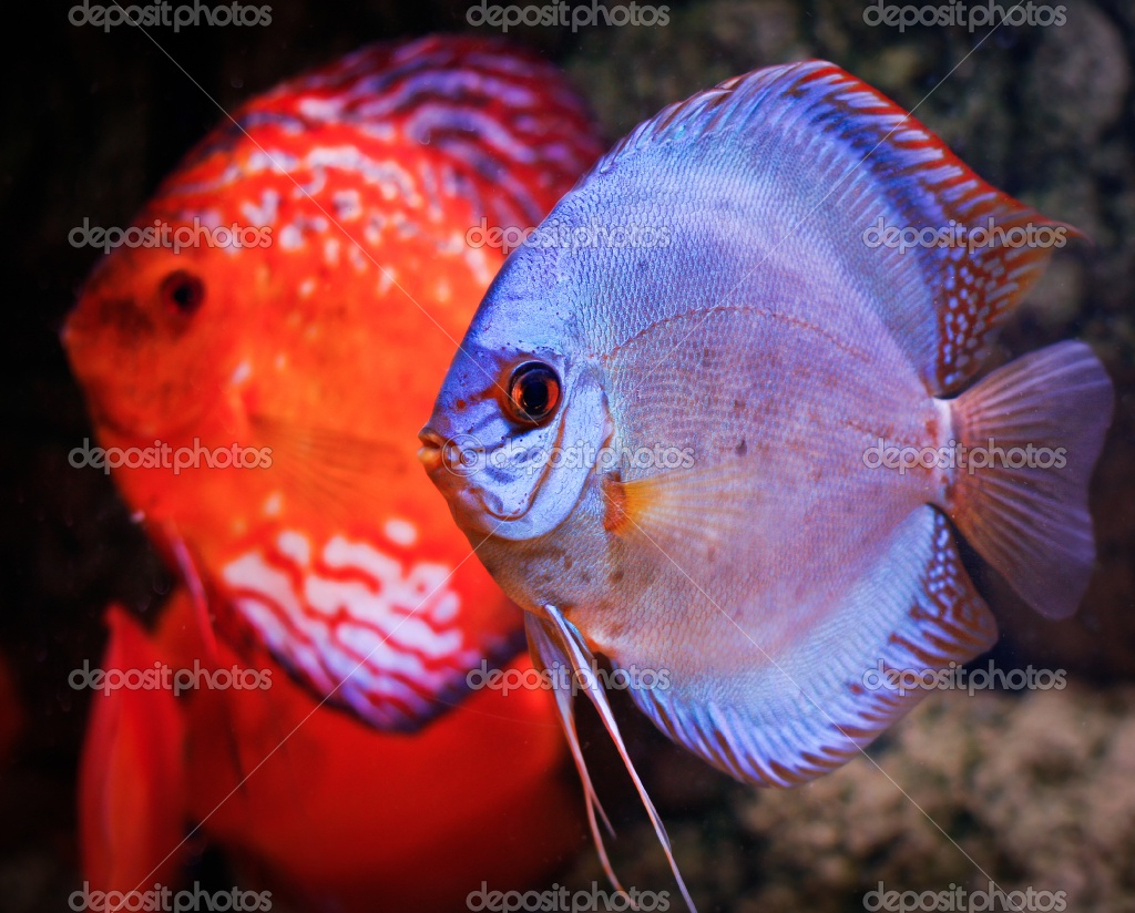 depositphotos 5659392 Discus fish