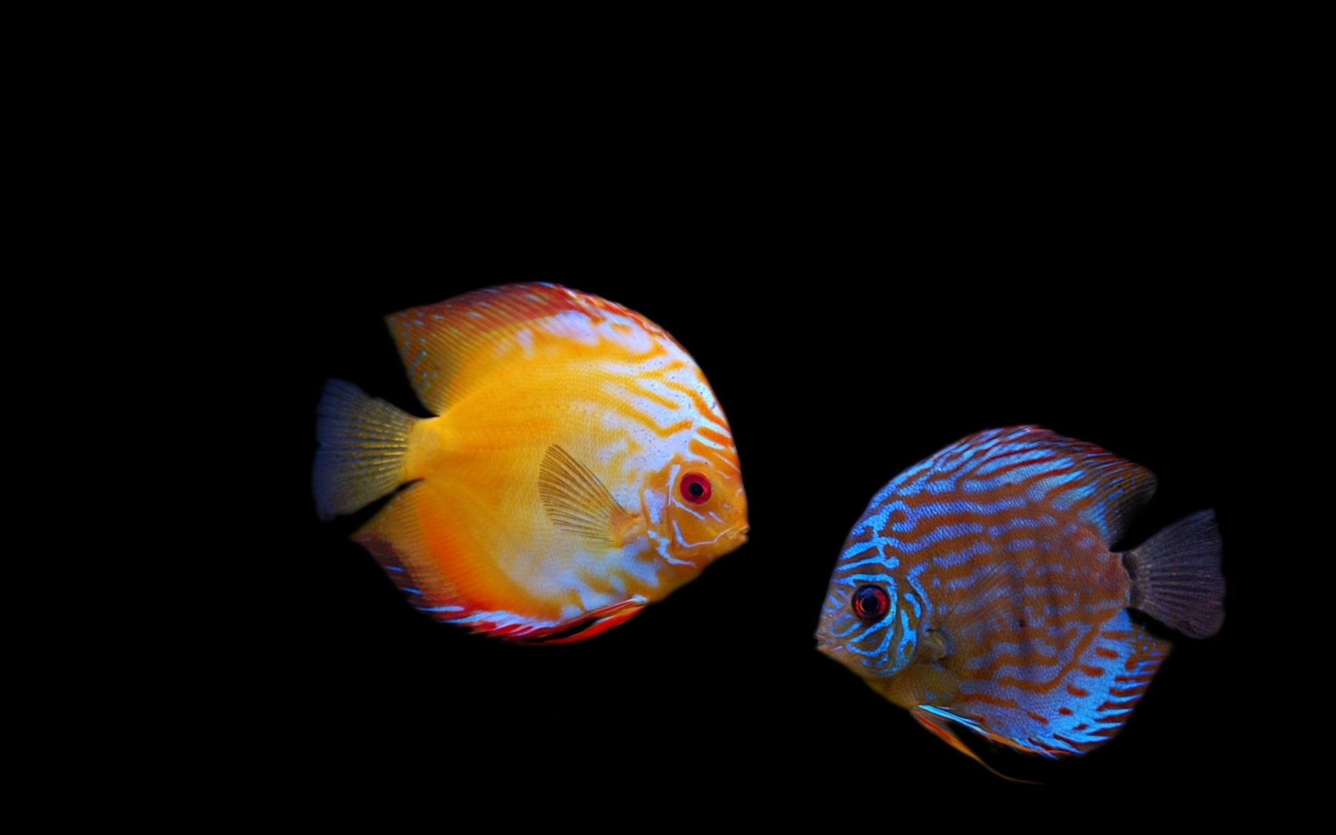 fish 20 discus 20 dark 20 stripes