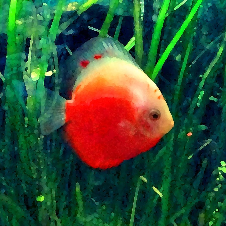 tropical discus fish amy vangsgard
